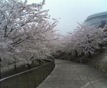 やすらぎ亭、白山公園の桜